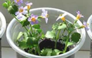 Выращивание бакопы из семян в домашних условиях: условия посадки, как и когда можно сажать, особенности ухода, фото