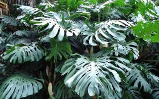 Монстера деликатесная: уход и выращивание в домашних условиях, описание растения с фото