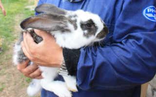 Кастрация кроликов: техники и способы операции своими руками, подходящий возраст, видео