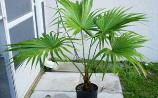 Ливистона: описание с фото, уход в домашних условиях, как посадить и вырастить семена