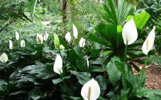 Размножение спатифиллума в домашних условиях: основные способы, дальнейший уход за растением