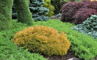 Туя западная Голден Таффет (Thuja occidentalis Golden Tuffet): описание и фото, использование в ландшафтном дизайне, посадка и