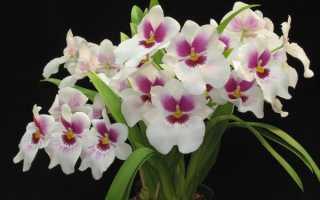 Орхидея мильтония: уход в домашних условиях, фото, размножение