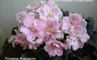 Фиалка Розовая Акварель: описание сорта, выращивание и уход в домашних условиях, фото
