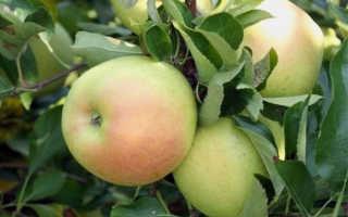 Яблоня «Чудное»: описание и характеристики сорта, выращивание и уход, фото