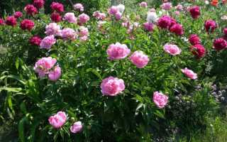 Когда можно обрезать пионы и ирисы после цветения, надо ли срезать отцветшие на зиму