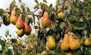 Груша Просто Мария: характеристика и описание сорта, плюсы и минусы выращивания, особенности посадки и ухода, фото
