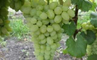 Виноград Белое Чудо: описание сорта, фото, посадка и уход