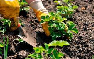 Посадка клубники весной: особенности, сроки, правила посадки, пошаговая инструкция, сбор и хранение урожая