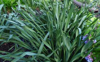 Нарциссы: посадка, выращивание и уход в открытом грунте и в домашних условиях, почему не цветут