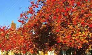 Рябина (красная, или обыкновенная) в ландшафтном дизайне дачного участка, её фото осенью и сочетание с другими растениями