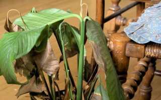 Чернеют листья по краям у спатифиллума – что делать и как спасти