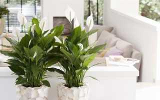 Спатифиллум Сенсация: фото и описание, особенности ухода и размножения цветка в домашних условиях