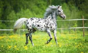 Лошадь Аппалуза: описание и содержание породы, особенности ухода, фото