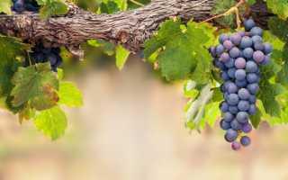 Обработка винограда перекисью водорода: способы и правила обработки, как часто можно обрабатывать, дозировка