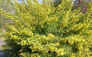 Технология выращивания золотистой смородины: где и когда сажать, уход и обрезка весной, почему не плодоносит