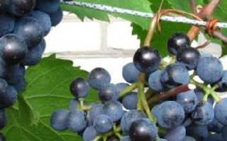 Виноград Саперави (северный): описание сорта, фото, отзывы