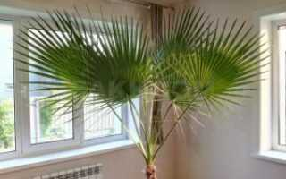 Вашингтония: описание, выращивание и уход в домашних условиях, пересадка растения, фото
