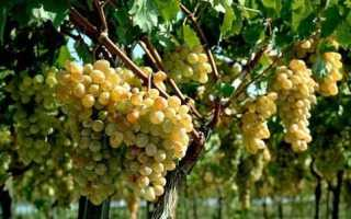 Размножение винограда черенками осенью в домашних условиях: в открытом грунте, в воде