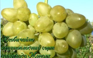 Виноград «Монарх»: описание сорта, фото