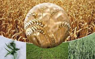 Фазы роста озимой и яровой пшеницы: фото стадий развития по датам, особенности каждого вегетационного периода растения