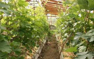 Виноград в теплице: сорта для выращивания, посадка и уход, советы