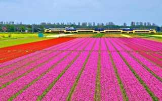 Страна тюльпанов в Европе — Голландия (Нидерланды), в какой ещё стране массово растут эти цветы