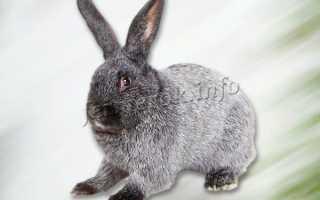 Кролики полтавское серебро: описание и характеристика породы, разведение и содержание в домашних условиях, чем кормить, фото, видео