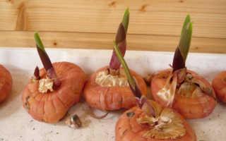 Когда и как выкапывать гладиолусы осенью и как хранить после выкопки в домашних условиях зимой
