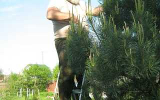 Как правильно подстричь пихту: обрезка и формировка в саду, можно ли стричь, чтобы не выросла высокой