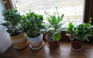 Каланхоэ: размножение черенками, листом в домашних условиях, фото
