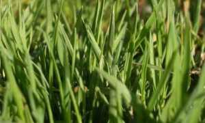 Газон из полевицы побегоносной: плюсы и минусы газонной травы, совместимость с овсяницей, особенности посадки и ухода, фото