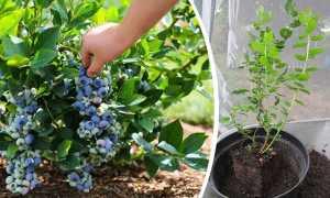 Выращивание голубики на Урале в открытом грунте, лучшие сорта, посадка и уход