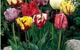 Тюльпан попугайный сорта Эстелла Рижнвельд: посадка и уход, применение в ландшафтном дизайне, фото и описание цветка