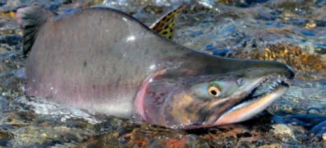 Горбуша морская или речная рыба: где водится в море или реке, чем питается эта рыба, где обитает
