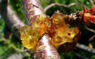 Смола на вишнёвом дереве: причины появления, способы лечения, профилактические методы