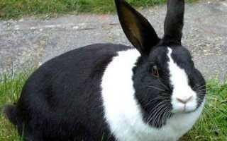 Вздутие живота у кроликов – причина и лечение заболевания