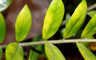 Почему желтеют листья у замиокулькаса: причина, что делать