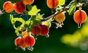 Крыжовник крупноплодный Розовый 2: описание сорта с фото, отличительные черты, преимущества