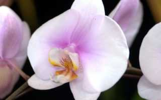 Размножение фаленопсиса в домашних условиях: основные правила, особенности ухода, фото, видео