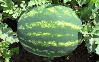 Арбуз Продюсер: описание и характеристика сорта, выращивание и уход, урожайность, фото