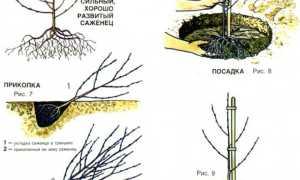 Как укрыть черешню на зиму: особенности ухода осенью и подготовка к зиме, как и когда нужно утеплять,