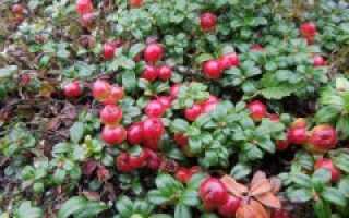 Брусника садовая сорта Коралл: описание и вешний вид, посадка и уход, фото