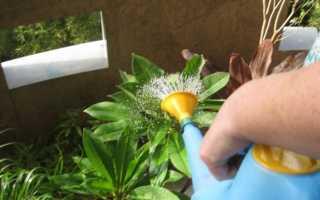 Как правильно поливать фикус в домашних условиях: как часто, сколько раз и какой водой