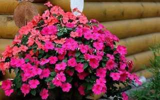 Катарантус: выращивание из семян в домашних условия