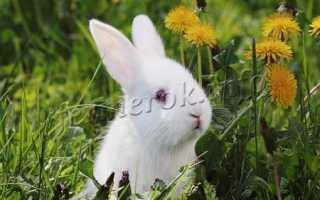 Можно ли кроликам давать укроп: польза и вред, особенности употребления