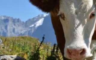 Как правильно запустить корову перед отёлом