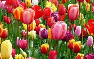 Как вырастить тюльпаны из семян в домашних условиях, особенности семенного метода размножения, фото