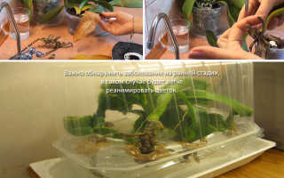 У орхидеи сохнут корни: что делать и как спасти растение, как пересадить и сохранить орхидею