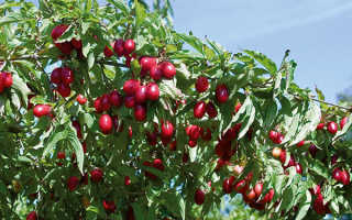 Кизил: посадка и уход на участке весной в открытом грунте, пошаговая инструкция, обрезка, размножение саженцами и черенками